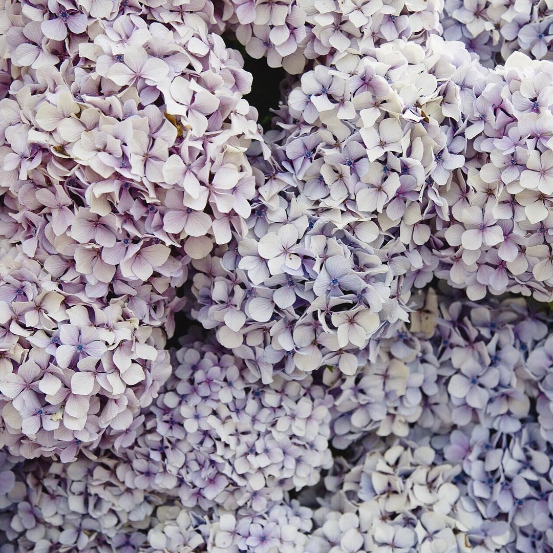 hortensia celinemarks