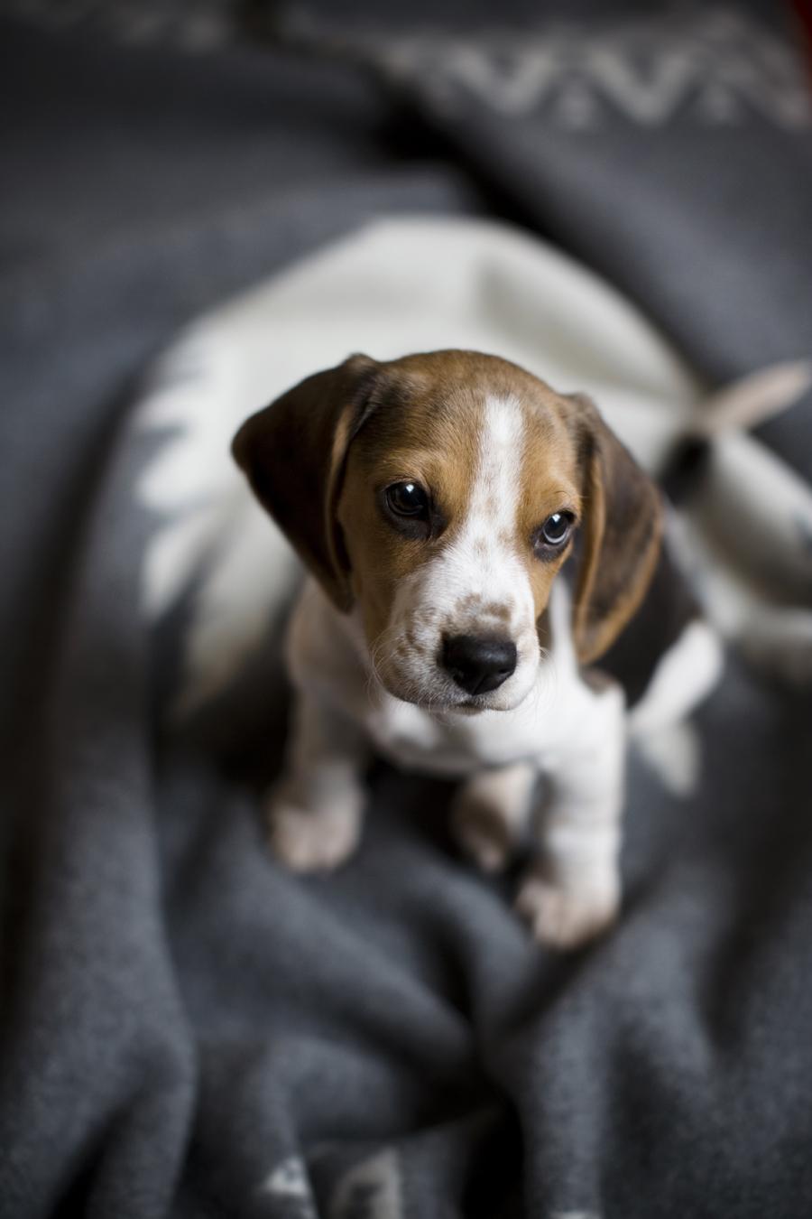 charly_beagle_boy_1