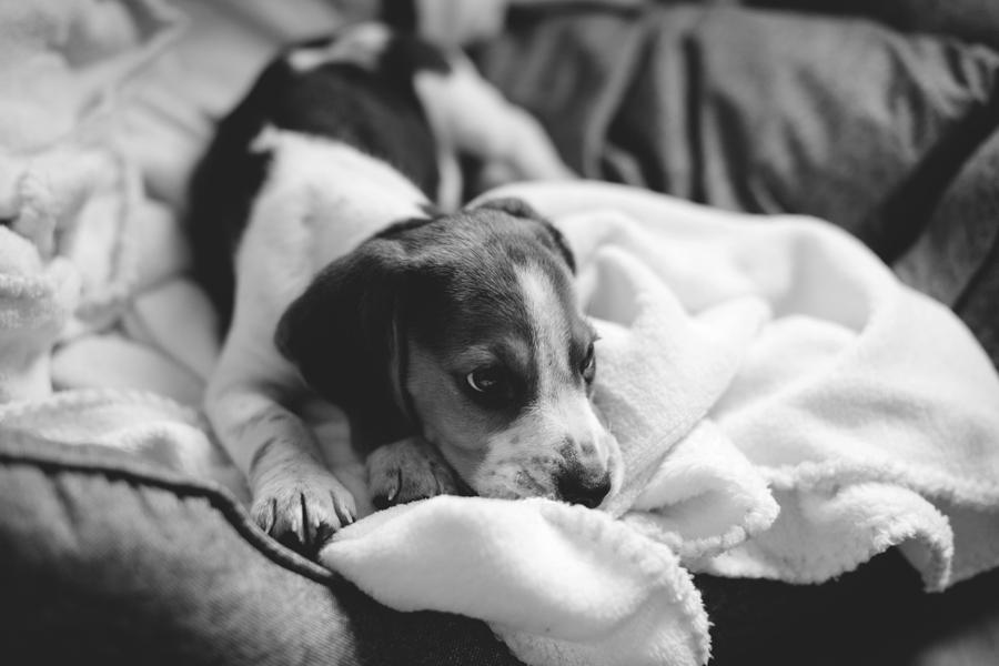 charly_beagle_boy_2a