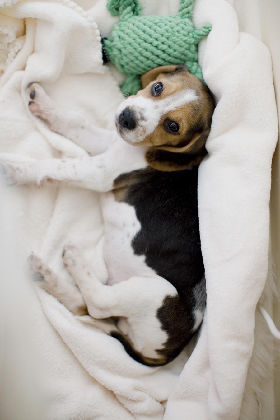charly_beagle_boy_5c