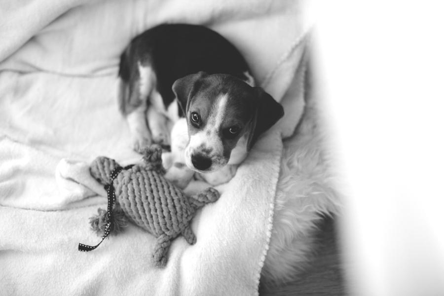 charly_beagle_boy_5d