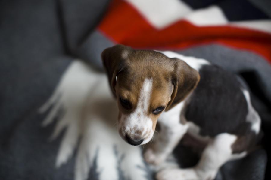 charly_beagle_boy_6