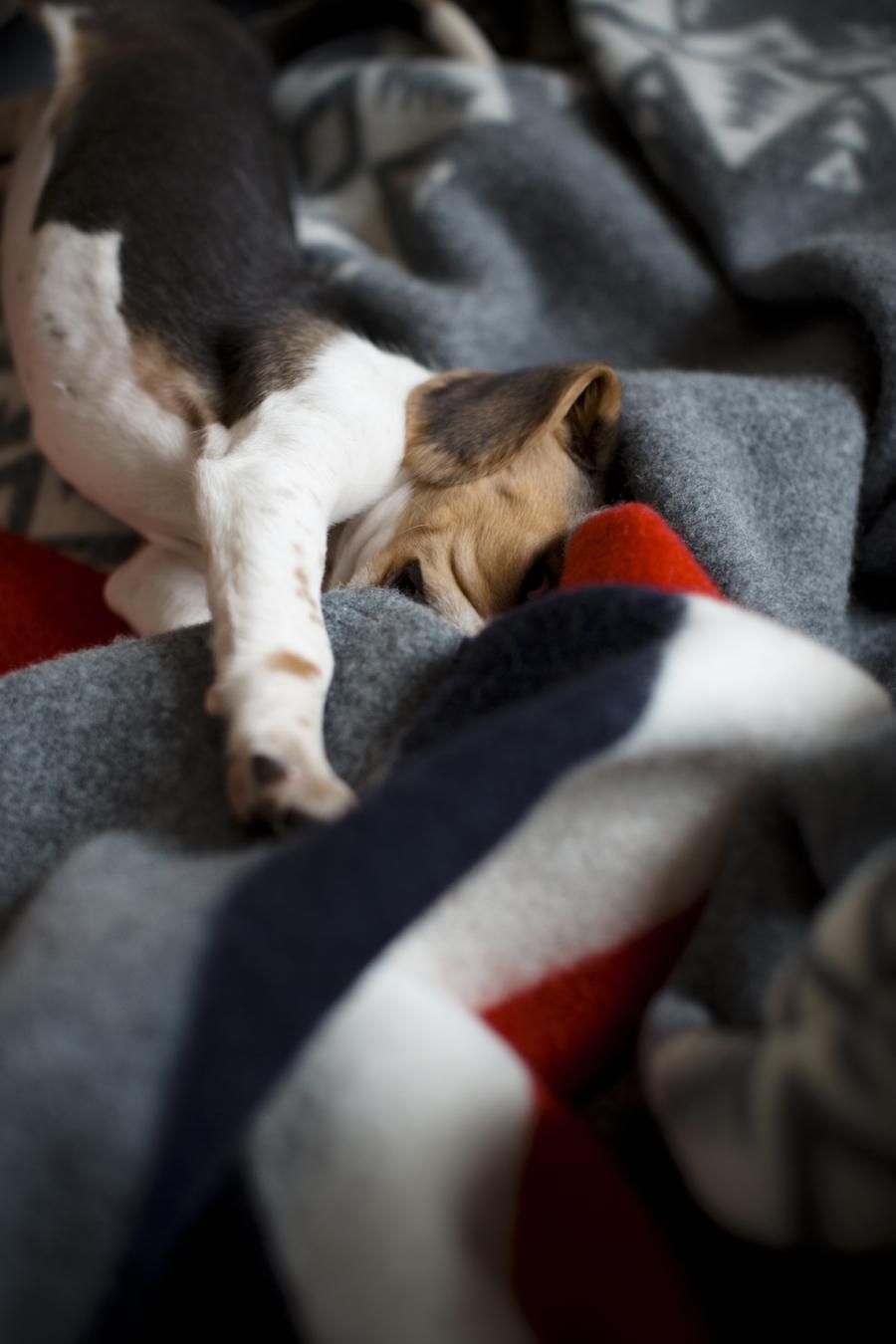 charly_beagle_boy_7