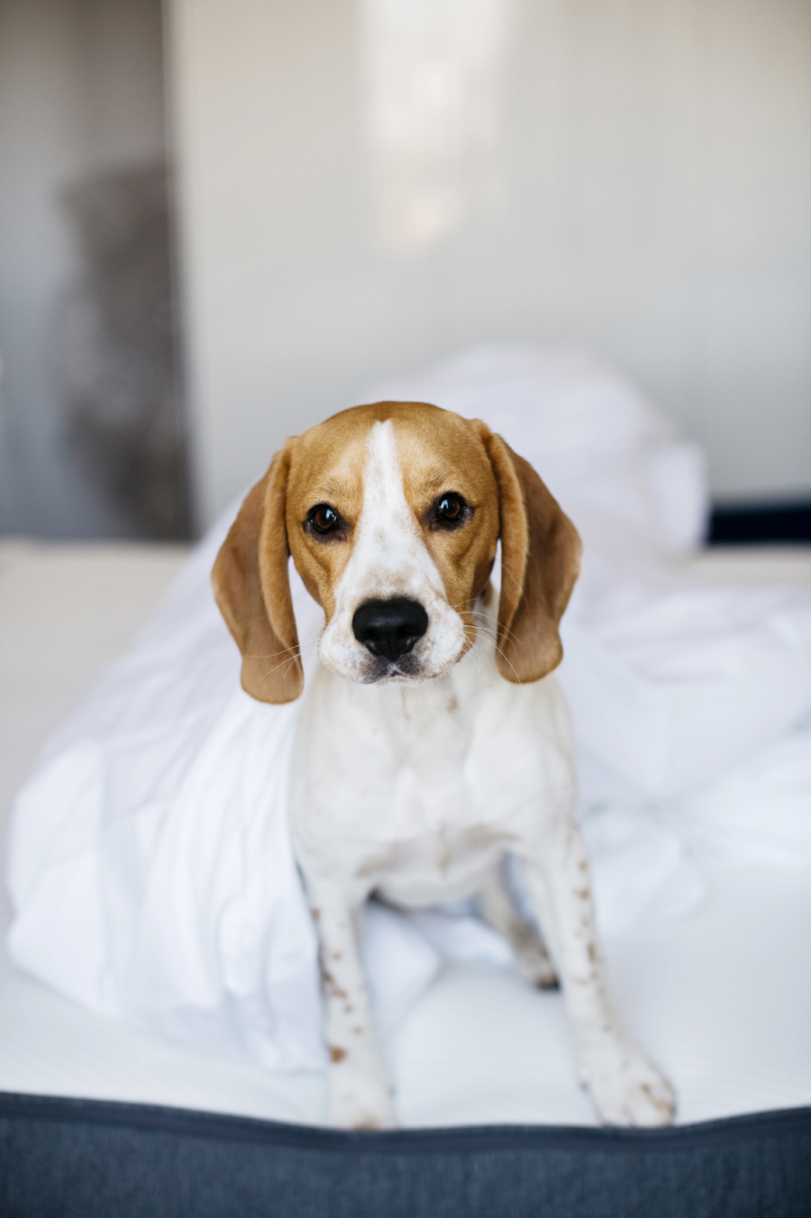 charly_beagle_boy_2ans_7